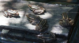 Six Northern Leopard Frogs, Ward's Island, Toronto Islands