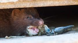 Closeup of mink eating a crayfish, Centre Island, Toronto Islands