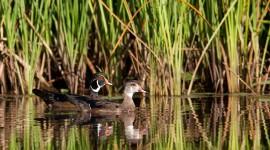 Wood Ducks, Doughnut Island, Toronto Islands