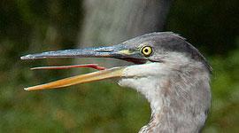 Panting great blue heron, Trout Pond, Toronto Islands