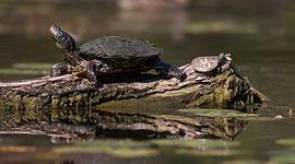 Baby and adult northern map turtles, Doughnut Island, Toronto Islands