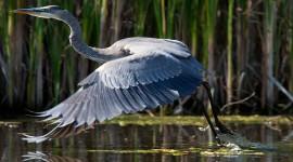 Great blue heron wingtip feathers, Doughnut Island, Toronto Islands