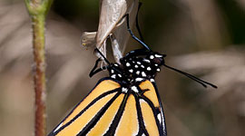 Hatching monarch butterfly and chrysalis, Ward's Island, Toronto Islands