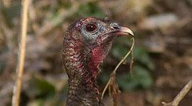 Wild turkey, Centre Island, Toronto Islands