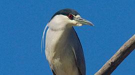Early returned black-crowned night heron, Doughnut Island, Toronto Islands