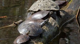 Six painted turtles on a log, Doughnut Island, Toronto Islands