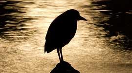 Black-crowned night heron moonlight silhouette, Ward's Island, Toronto Islands