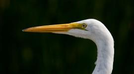 Great egret portrait, Doughnut Island, Toronto Islands