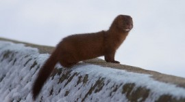 Mink on breakwall, Centre Island, Toronto Islands