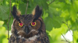 Great Horned Owl Portrait, Ward's Island, Toronto Islands