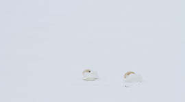 Mute swans sleeping on ice, Centre Island, Toronto Islands