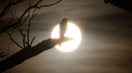 Sharp-shinned hawk backlit by setting sun, Algonquin Island, Toronto Islands
