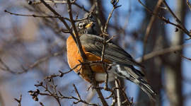 Robin on Valentine's Day, Ward's Island, Toronto Islands