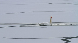 Mute swan in open ice leads, Centre Island, Toronto Islands