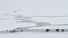 Mixed ducks in open ice leads, Outer Harbour, Toronto Islands