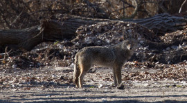 Coyote camouflage, Centre Island, Toronto Islands