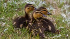 Mallard Ducklings, Snake Island, Toronto Islands