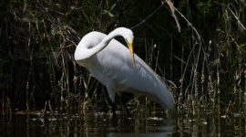 Graceful great egret fishing, Snake Island, Toronto Islands