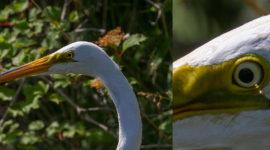 Great egret closeup showing eye refraction, Snake Island, Toronto Islands