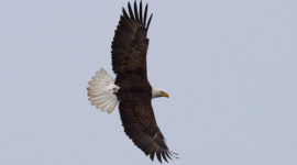 Bald eagle in flight, Blockhouse Bay, Toronto Islands