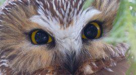 Saw-whet owl portrait, Ward's Island, Toronto Islands