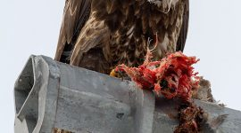 Bald eagle eating a cormorant, Center Island, Toronto Islands
