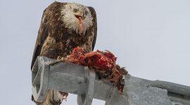 Bald eagle eating a cormorant morsel, Center Island, Toronto Islands