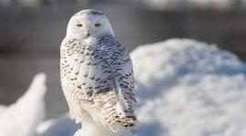 A snowy owl stares into the camera, Ward's Beach, Toronto Islands