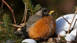 Robin puffed up against cold, Ward's Island, Toronto Island
