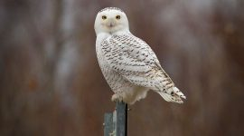 Snowy Owl, Ward's Island, Toronto Islands