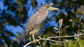 Juvenile black-crowned night heron, Doughnut Island, Toronto Islands