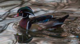 Wood duck in January, Snake Island, Toronto Islands