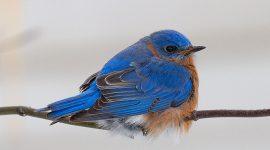 January bluebird, Ward's Island, Toronto Islands