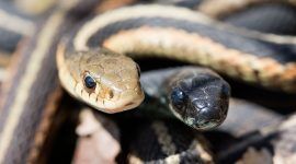 Melanistic and common garter snake, Ward's Island, Toronto Islands