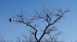 Female bald eagle in tree, Snug Harbour, Toronto Islands