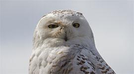 Snowy owl, Gibraltar Point, Toronto Islands