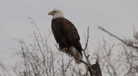 Bald eagle on branch, Long Pond, Toronto Islands
