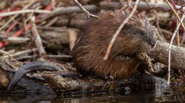 Muskrat on shore, Island Public School, Toronto Islands