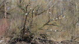 13 Black-crowned Night Herons in one tree, Doughnut Island, Toronto Islands